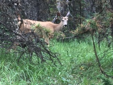 Doe near Maligne Lake